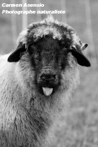 Mouton facétieux