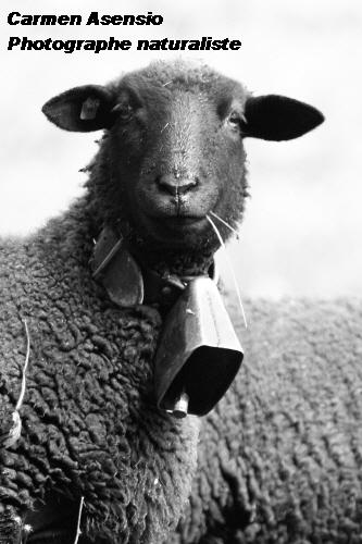 Mouton tendre