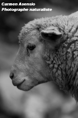 Mouton triste