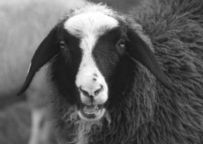 Mouton bavard