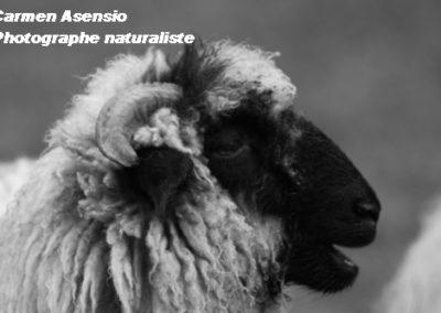 Mouton rieur