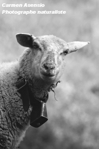 Mouton sérieux