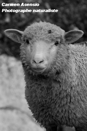 Mouton austère