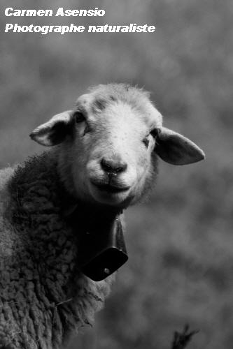 Mouton timide