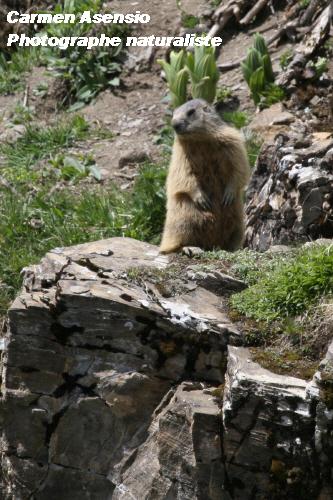 marmot4